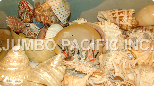 philippines finest natural components raw shells